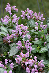 Pink Chablis® Spotted Dead Nettle (Lamium maculatum 'Checkin') at Bartlett's Farm
