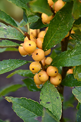 Berry Heavy® Gold Winterberry (Ilex verticillata 'Roberta Case') at Bartlett's Farm