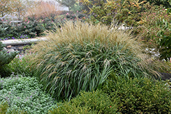 Adagio Maiden Grass (Miscanthus sinensis 'Adagio') at Bartlett's Farm