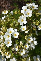 McKay's White Potentilla (Potentilla fruticosa 'McKay's White') at Bartlett's Farm