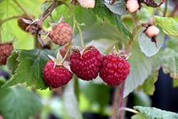 Heritage Raspberry (Rubus 'Heritage') at Bartlett's Farm