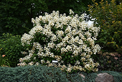 Quick Fire® Hydrangea (Hydrangea paniculata 'Bulk') at Bartlett's Farm