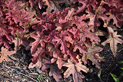 Fun and Games® Red Rover Foamy Bells (Heucherella 'Red Rover') at Bartlett's Farm