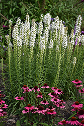 Floristan White Blazing Star (Liatris spicata 'Floristan White') at Bartlett's Farm