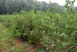 Bluecrop Blueberry (Vaccinium corymbosum 'Bluecrop') at Bartlett's Farm