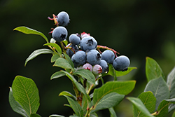 Northland Blueberry (Vaccinium corymbosum 'Northland') at Bartlett's Farm