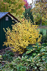 Vernal Witchhazel (Hamamelis vernalis) at Bartlett's Farm