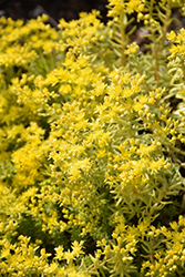 Lemon Ball Stonecrop (Sedum rupestre 'Lemon Ball') at Bartlett's Farm