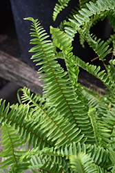 Sword Fern (Nephrolepis cordifolia) at Bartlett's Farm