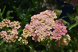 Peachy Seduction Yarrow (Achillea millefolium 'Peachy Seduction') at Bartlett's Farm