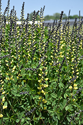Decadence® Lemon Meringue False Indigo (Baptisia 'Lemon Meringue') at Bartlett's Farm