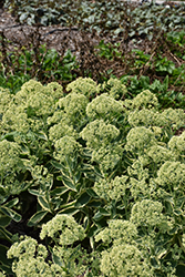 Frosted Fire Stonecrop (Sedum 'Frosted Fire') at Bartlett's Farm