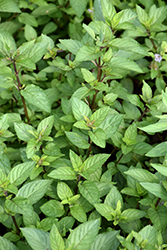 Chocolate Mint (Mentha x piperita 'Chocolate') at Bartlett's Farm