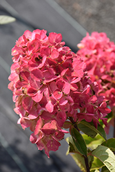 Fire Light® Hydrangea (Hydrangea paniculata 'SMHPFL') at Bartlett's Farm