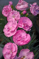 Fruit Punch® Sweetie Pie Pinks (Dianthus 'Sweetie Pie') at Bartlett's Farm